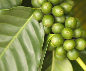 Showing coffee plant