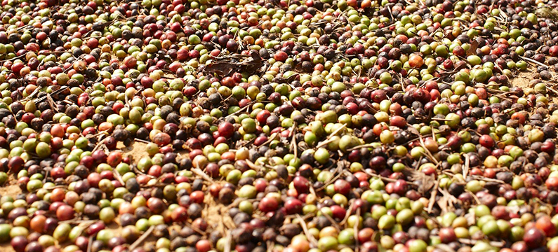 Showing coffee beans