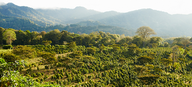 Showing coffee plantation